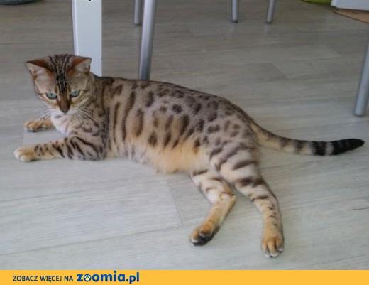 Fantastyczny Kot bengalski - ogłoszenia z hodowli. Koty bengalskie / Zoomia.pl pl 1 YT75