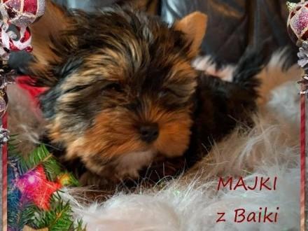 Miś Majki z Bajki - Rodowód Niemiecki York Najpiękniejszy !