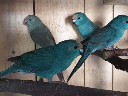 Papugi  mlode niebieskie samce m lotki