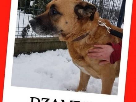 Duży w typie amstaffa 8 letni łagodny przyjazny pies DŻAMBOAdopcja    dolnośląskie Wrocław