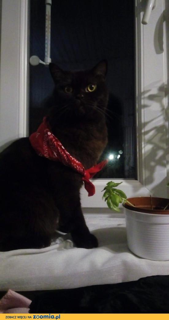 Kot brytyjski czekoladowy