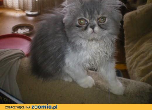 Kocięta perskie,  śląskie Katowice