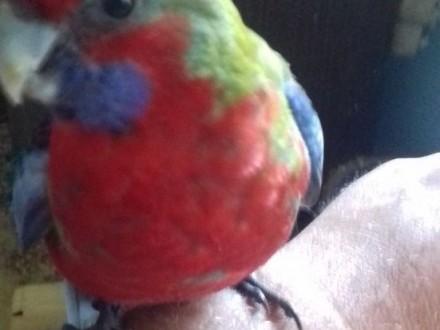 Papugi ręcznie karmione sprzedam