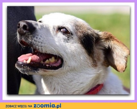 Średni zaszczepiony  łagodny spokojny rodzinny psiak TERY_Adopcja