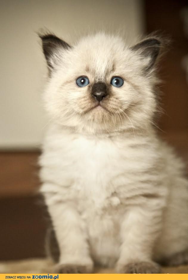 Przepiękne Koty Neva Masquerade niebieskookie  FPL