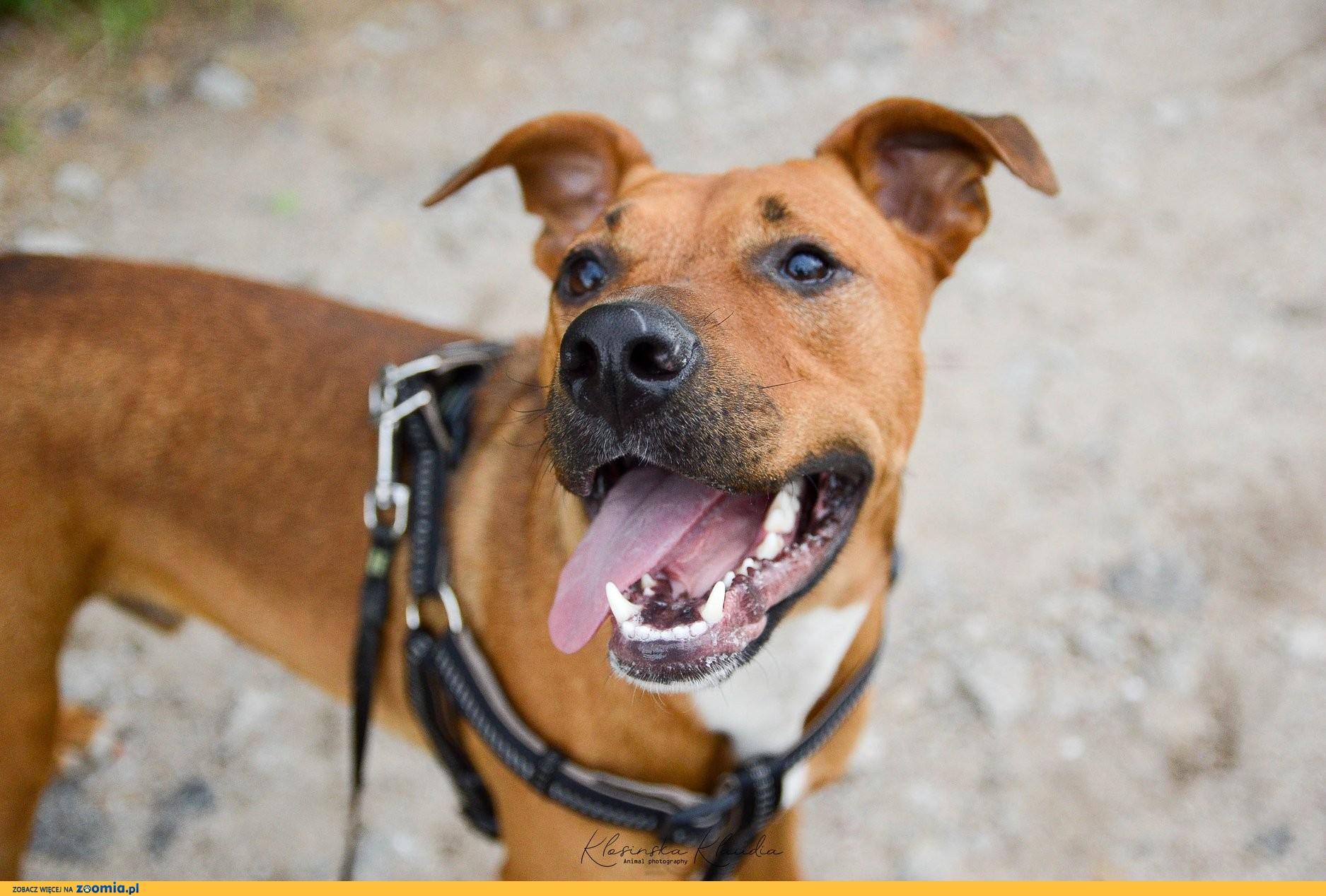 Axel, młody mix TTB, fajny psiak do psich sportów szuka odpowiedzialnego domu!
