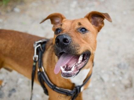 Axel  młody mix TTB  fajny psiak do psich sportów szuka odpowiedzialnego domu!