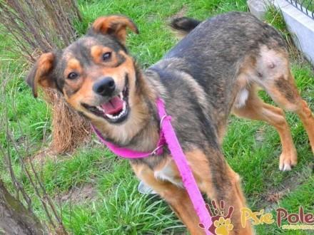 KOZIOŁEK-Miły trochę nieśmiały brązowy psiak szuka troskliwego domu  adopcja