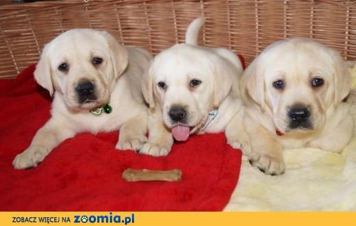 Labradory po CH.z rodowodem Związku Kynologicznego,  kujawsko-pomorskie Włocławek