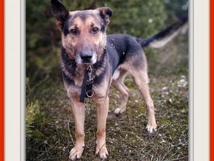 Stróżujący duży w typie owczarka przyjazny szczepiony pies HUZARAdopcja   śląskie Katowice