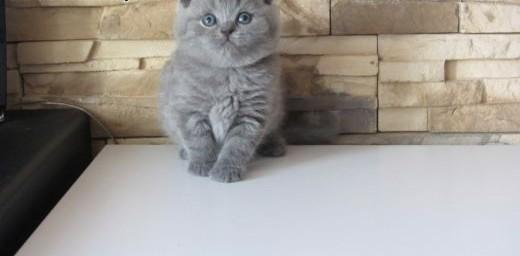 Sprzedam Kocięta Brytyjskie z Rodowodem    dolnośląskie Wrocław