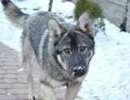 Fokus roczny przyjacielski psiak pilnie szuka domu zadzwoń,  Kundelki cała Polska