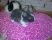 króliczki króliki karzełki teddy,miniaturki