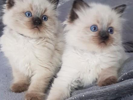 Kocięta Ragdoll - zarejestrowany rodowód