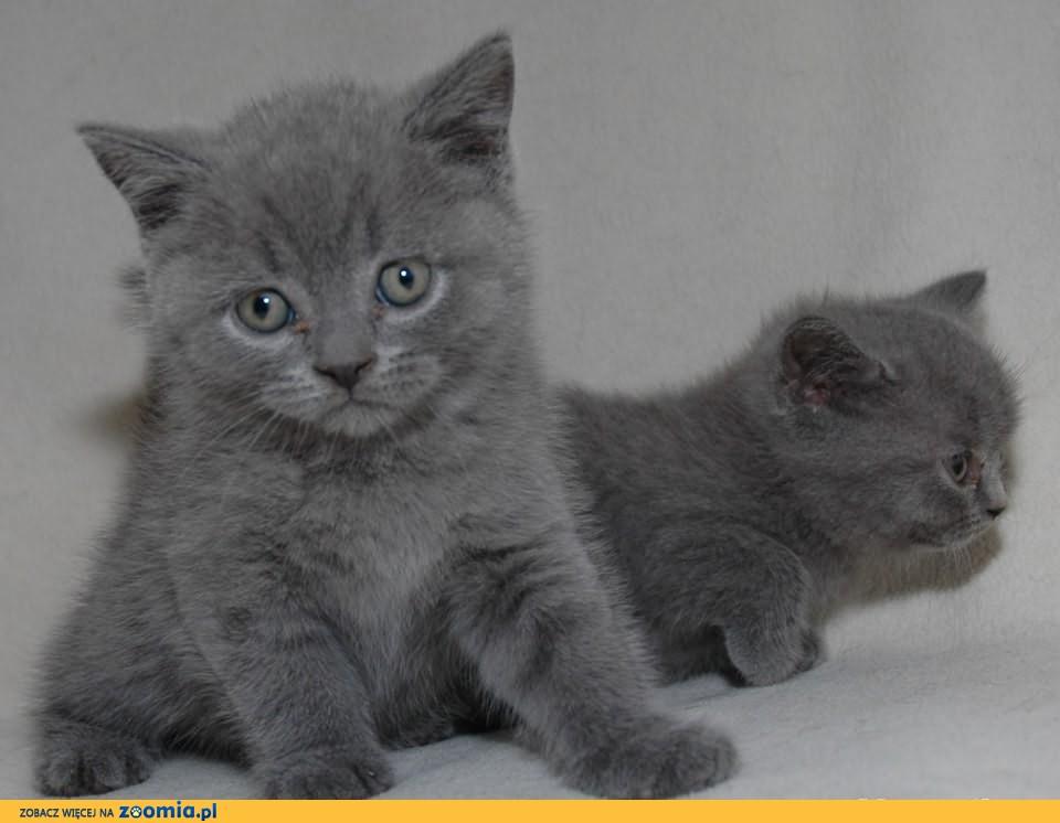 Urocze kocięta z rodowodem FPL