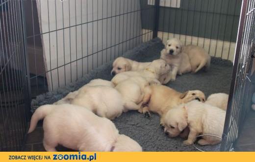 Zarejestrowane szczeniaki Golden Retriever 6 chłopców i 3 dziewczynki.,  zachodniopomorskie Barlinek