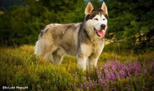 Majki wesoły  energiczny  aktywny alaskan malamute mix siberian husky   Kundelki cała Polska