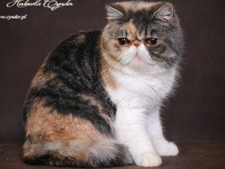 Dorosłe Wykastrowane Koty Perskie i Egzotyczne