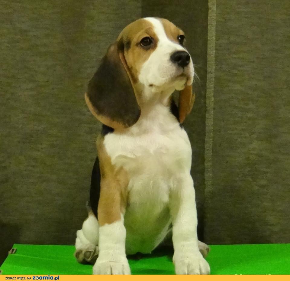 Beagle piękny szczeniak z rodowodem ZKwP