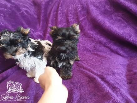 Yorkshire Terrier Sunia Biewer i Czarno-mahoniowa PASZPORT!!!