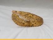 Wąż Pyton Królewski (wraz z profesjonalnym terrarium)