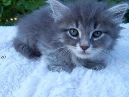Kotek Syberyjski ENZO niebieski z białym rodowód WCF