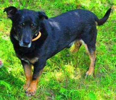 KABANOS - pies wyjątkowy  kocha ludzi  dzieci; do adopcji   małopolskie Kraków