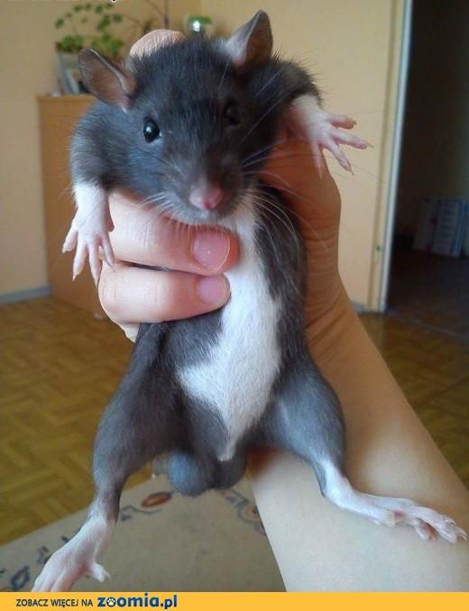 Oddam szczurki,  warmińsko-mazurskie Olsztyn