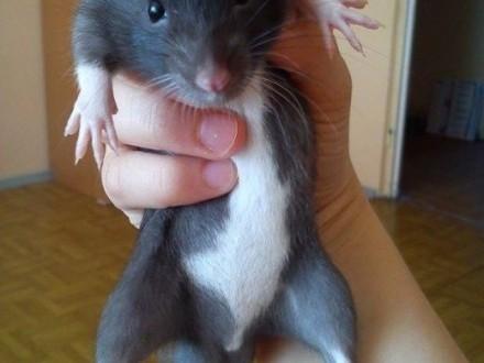 Oddam szczurki   warmińsko-mazurskie Olsztyn