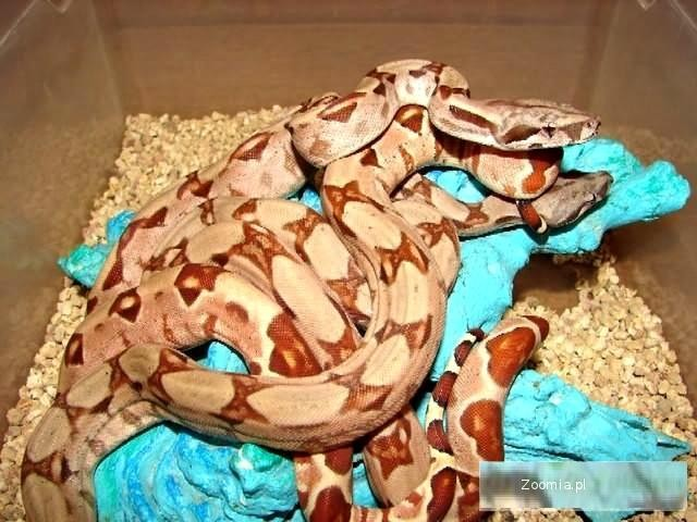 BOA CONSTRICTOR IMPERATOR DH. SUNGLOW