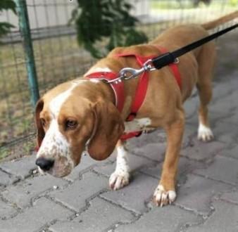 BAFI - piękny psiak w typie gończego szuka domu!   mazowieckie Warszawa