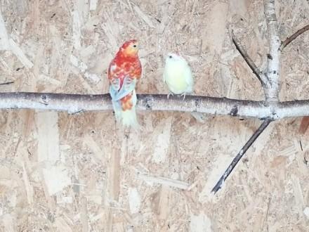 papugi świergotki para