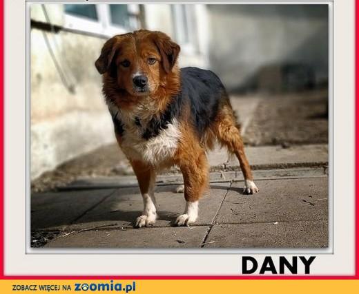 Kochany,najwierniejszy,przyjazny,średni,szczepiony piesek DANY,  małopolskie Kraków
