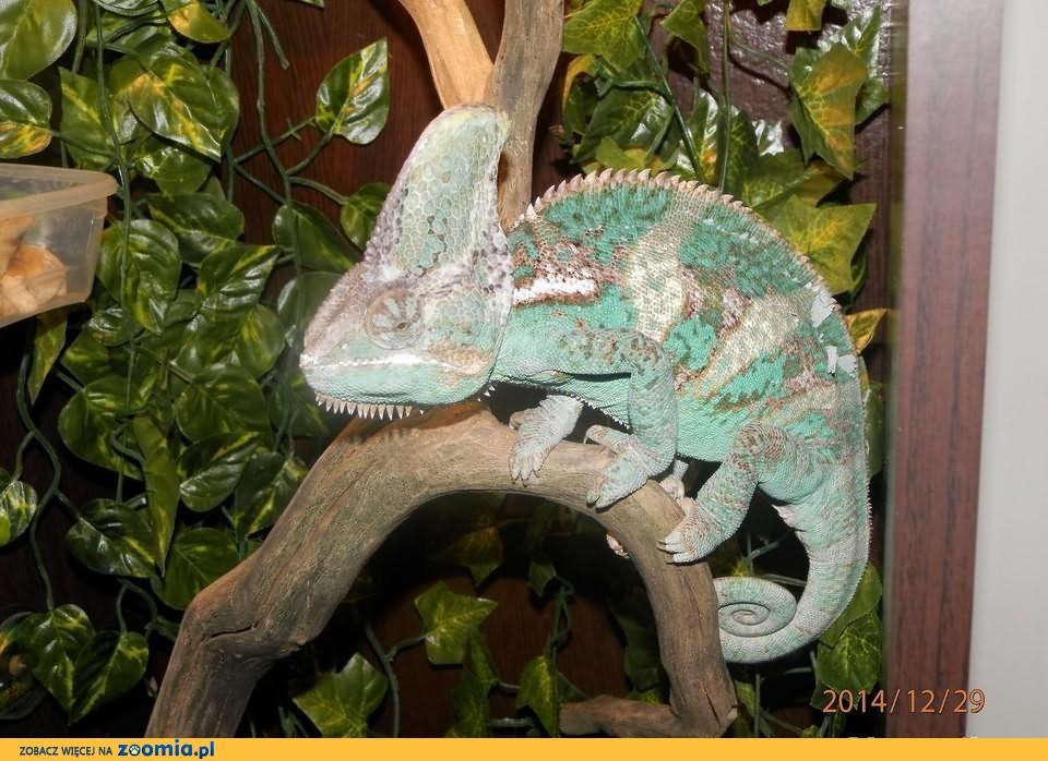 Kameleon Jemeński samiec wraz z terrarium