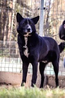 Szafir - trochę, jak pies karelski :) Bardzo potrzebny mu dom...