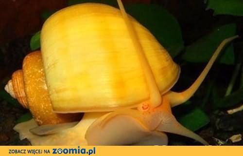Okazja! Pogromca glonów Ślimak Ampularia - Pomacea.