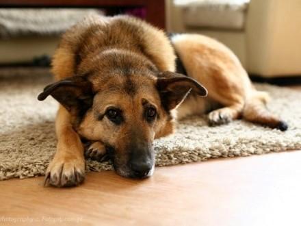 Wspaniała sunia w typie owczarka - Lola marzy o własnym domu