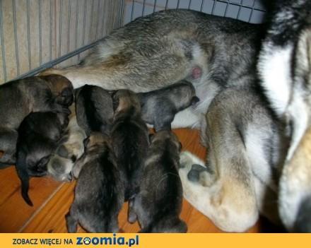Czechosłowacki wilczak szczeniaki