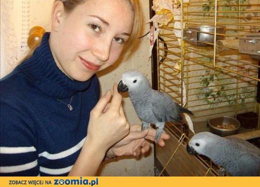 2 afrykańskie papugi szare darmowe.,  Papugi inne cała Polska