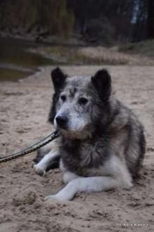 Shaky starszy pies alaskan malamute szuka domu na resztę życia!