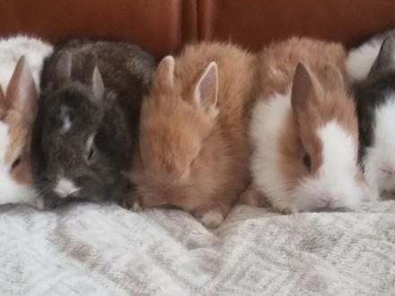 Królik miniaturka  karzełek  króliki