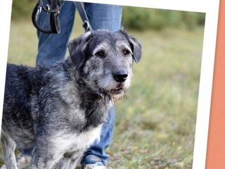 Sznaucer mix  35 kg  odważny dla doświadczonych pies GREY_Adopcja_