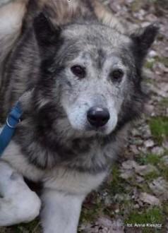 Shaky starszy pies alaskan malamute szuka domu na resztę życia!   Kundelki cała Polska