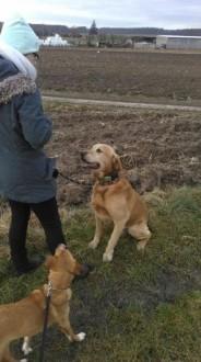 Sparki - piękny labrador czeka na ukochanego człowieka
