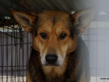 Bary - wymagający pies w typie owczarka - adopcja