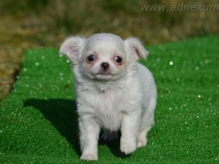 Chihuahua długowłosy piesek (FCI)