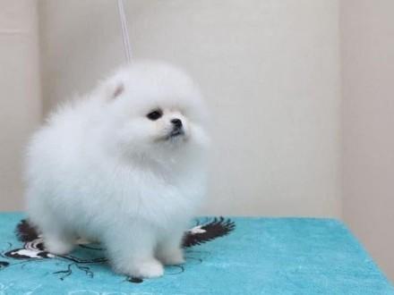 Pomeranian chłopiec szpic miniaturowy FCI
