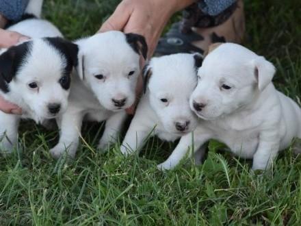 Szczenięta Jack Russell Terrier !!!
