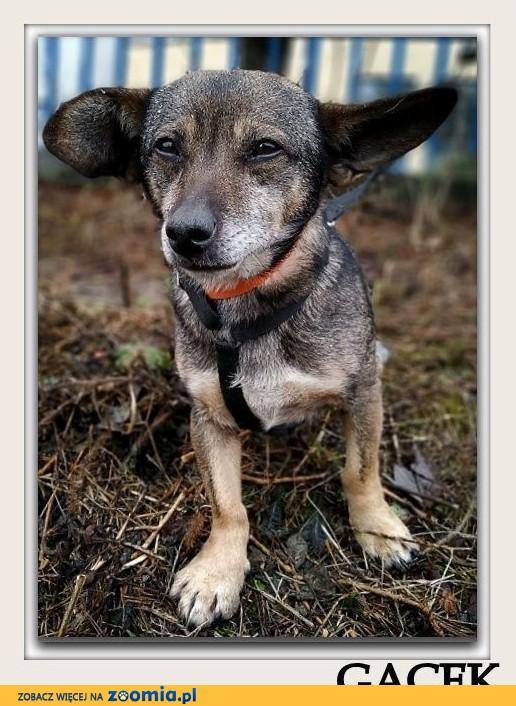 2 letni,mały,łagodny,przesympatyczny,towarzyski,zaszczepiony psiak GACEK.Adopcja.