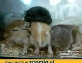 Oddam za darmo słodkie myszoskoczki